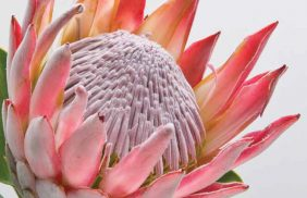 2_King Protea