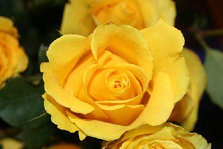 Piccola Rosa